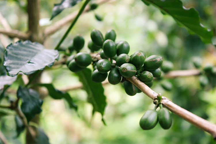 café-vert-décaféiné-café-vert-bio-grain-café-vert-en-pharmacie-café-vert-amazon-café-vert-et-guarana-café-vert-capsule-vu-à-la-tele-café-vert-arkopharma-café-vert-avec-gingembre-tisane-feuille-de-café-café-vert-wikipédia-manger-du-café-moulu-café-vert-nespresso-café-vert-achat-comment-préparer-un-café-vert-le-café-vert-capsule-café-vert-en-grain