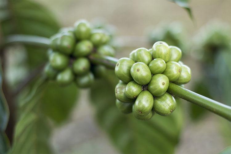 grains-de-café-vert-danger-café-vert-prix-acide-chlorogénique-maigrir-chocolat-riche-en-café-vert-café-vert-décaféiné-café-vert-bio-grain-café-vert-en-pharmacie-café-vert-amazon-café-vert-et-guarana-café-vert-capsule-vu-à-la-tele-café-vert-arkopharma-café-vert-avec-gingembre-tisane-feuille-de-café-café-vert-wikipédia-manger-du-café-moulu-café-vert-nespresso